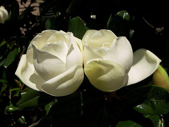 Two Magnolia White Flowers