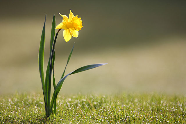 Wild Daffodils Plant and Flower