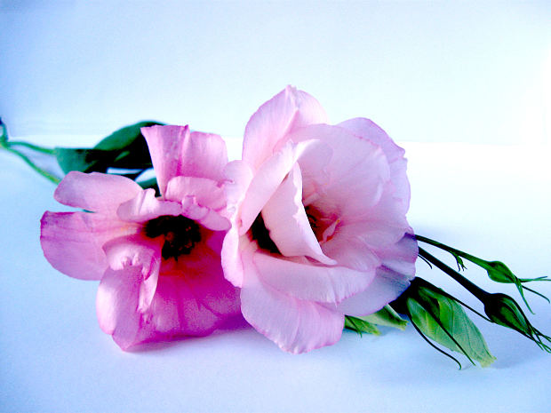 white-pink-rose-bud-leave