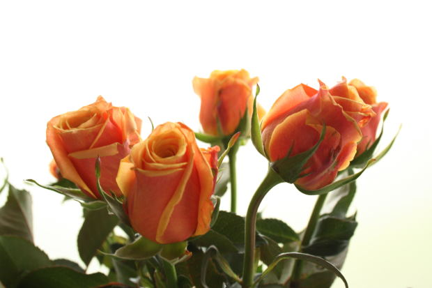 orange-yellow-roses
