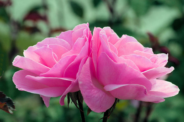 two-pink-rose-love