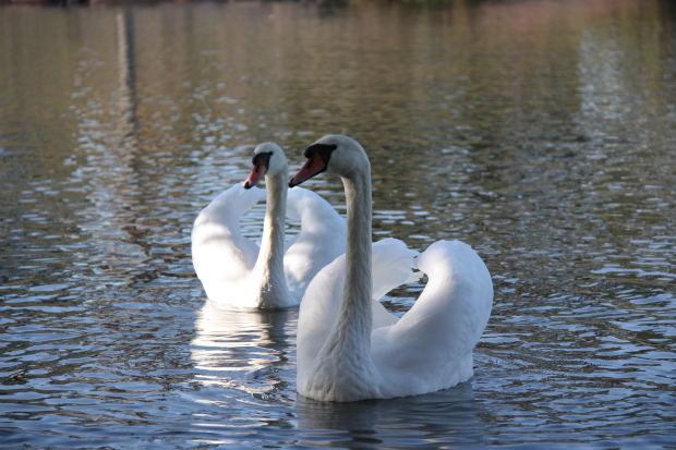 children-short-story-swan-pair-white