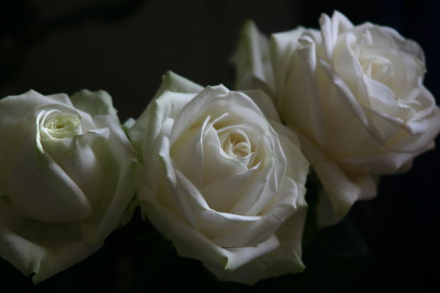 three-white-rose