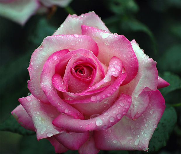motivational-pink-rose-dew-drops