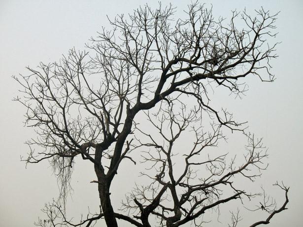huge-dry-tree