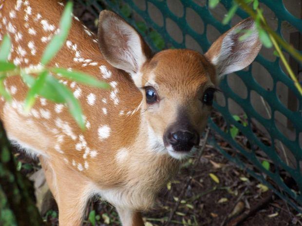 fawn-deer-baby