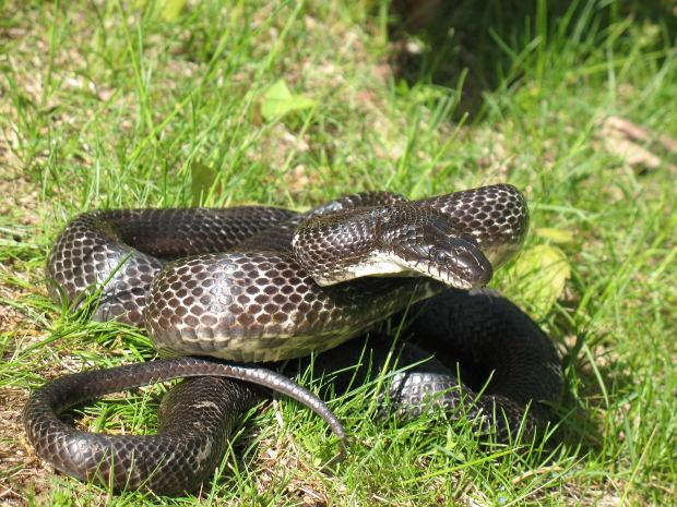 snake-lord-shiva-cheat