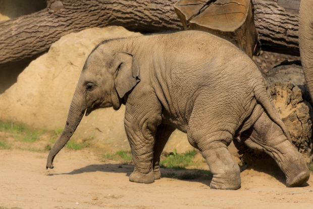 baby-elephant-brown