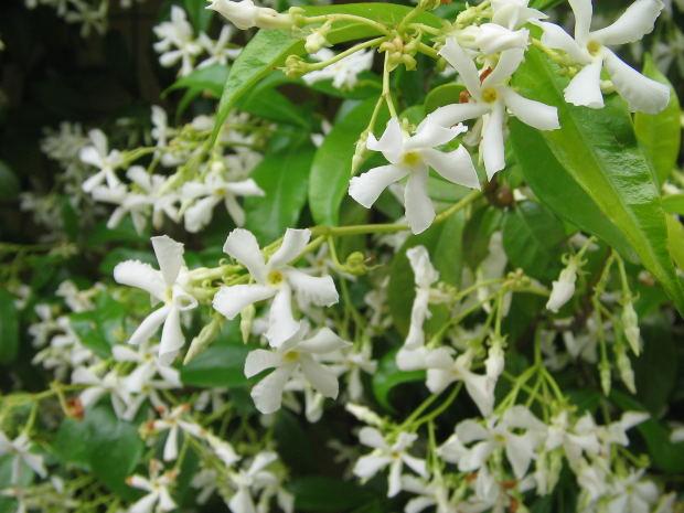 Harsingaar-jasmin-flower
